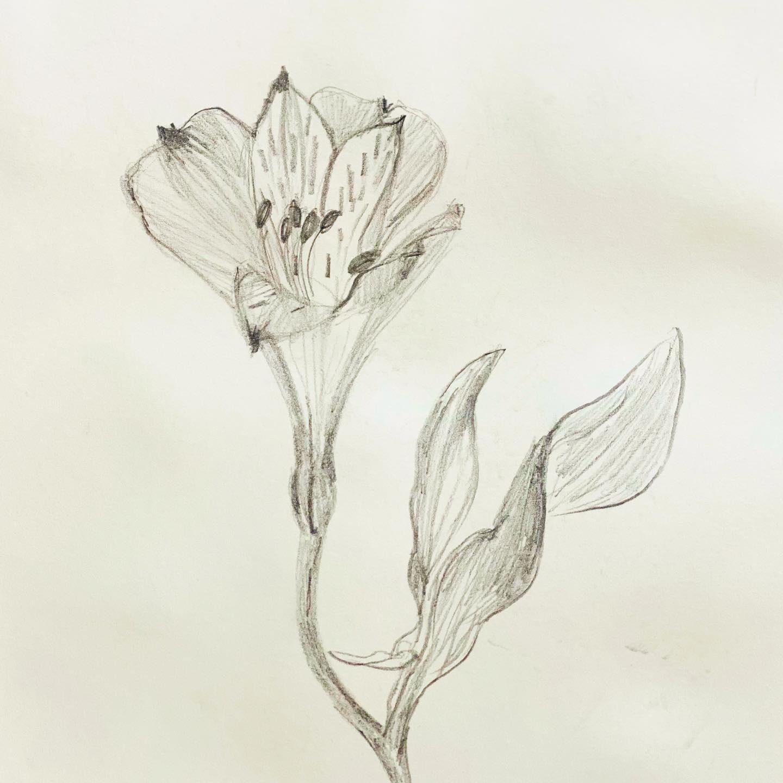 Peruvian lily . pencil sketch .