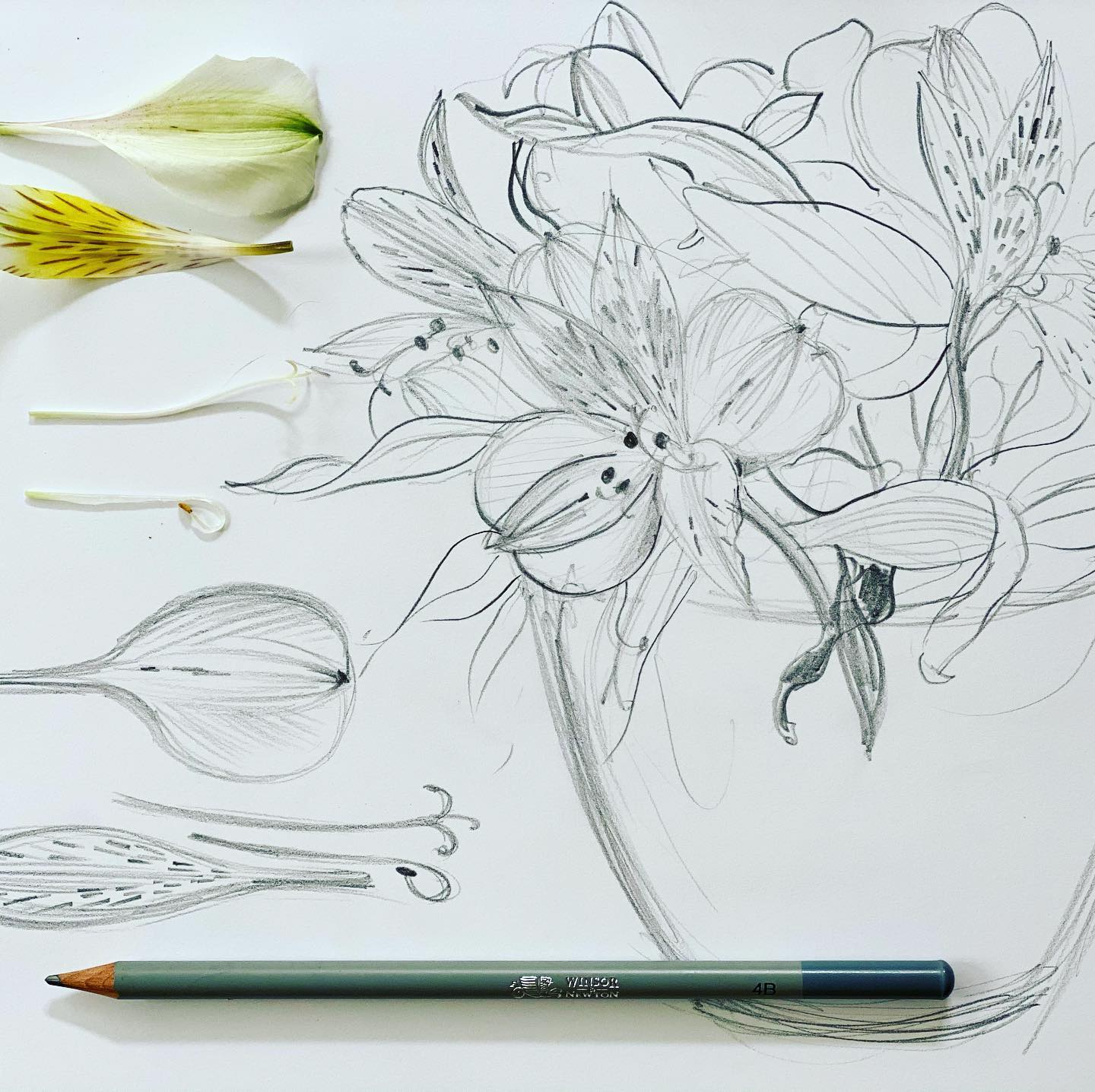 Peruvian Lily is a symbol of friendship and devotion. These brilliant blooms light up my home and my heart! Today's pencil study takes me back to the times when I sketched a lot, it also reminds me of the botany lessons in school!