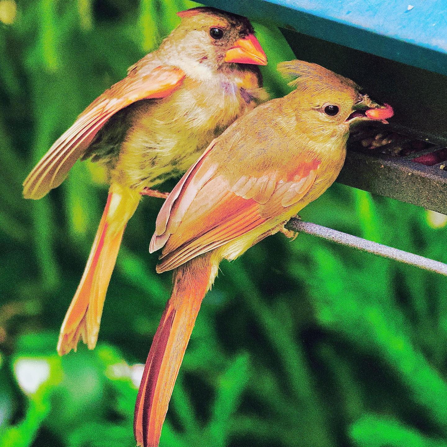 The mom escorted the fledgling to the feeder a few days ago and helped her with her meal. She watched as her little girl nibbled on a tiny seed. The next day the dad came and checked the feeder first. The mom flew in for a quick bite only after that. The little girl looked around as if figuring out her environment while she perched on the hanger. She sat down on the waterer for a while and took a few sips. She got something to nibble and took flight. The dad flies in for his meal finally, after his girls are all done.  P.C. @tejjas_kaul